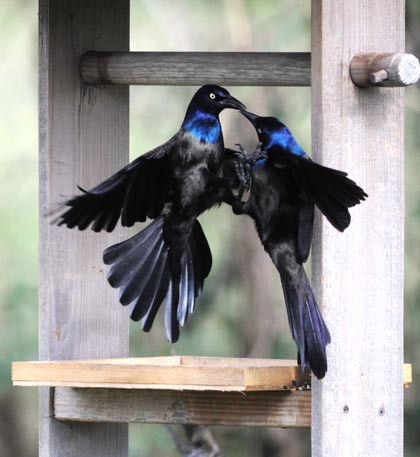 common grackle images. Common Grackles battling over